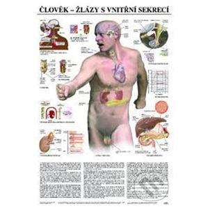 Plakát - Člověk - žlázy s vnitřní sekrecí - Scientia